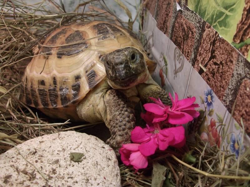 Сколько живут сухопутные черепахи