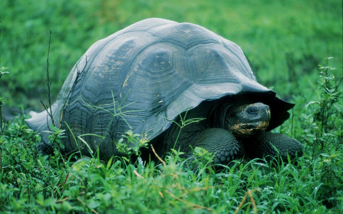 Грифовая черепаха фото, описание, ареал, питание, враги