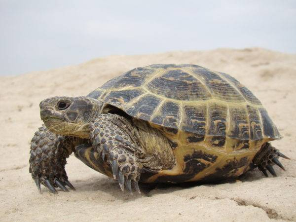 Разновидности водных и сухопутных черепах для домашнего содержания