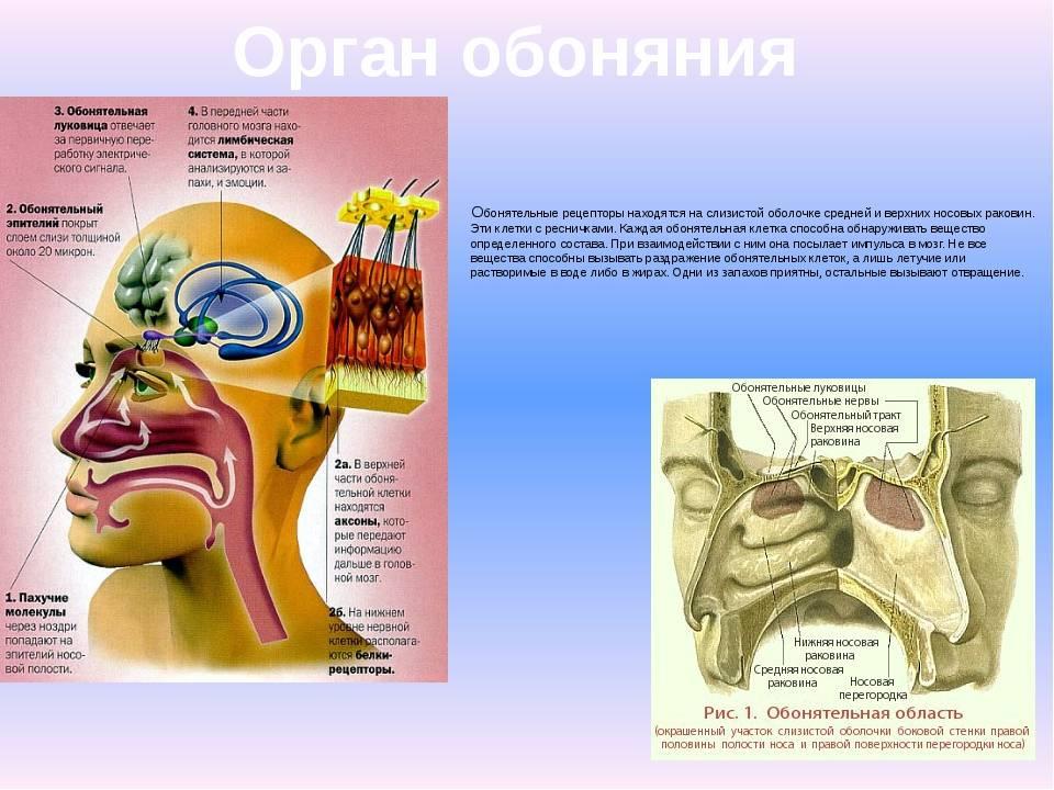 Орган обоняния человека. функции органа обоняния