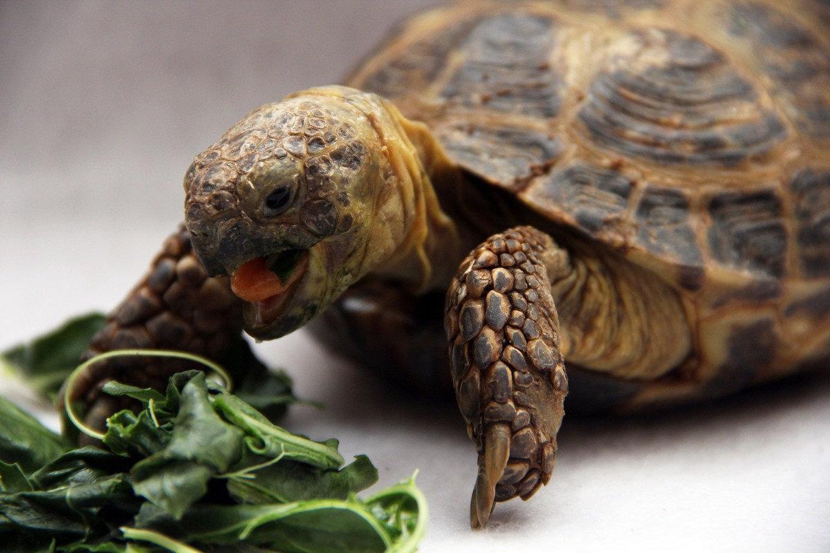 Чем питаются морские черепахи. гигантские морские черепахи