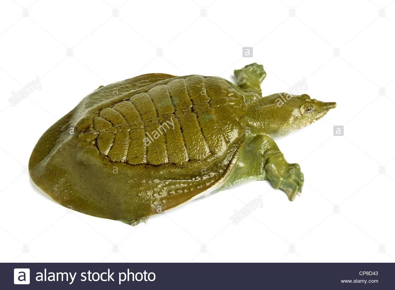 Дальневосточная черепаха — википедия