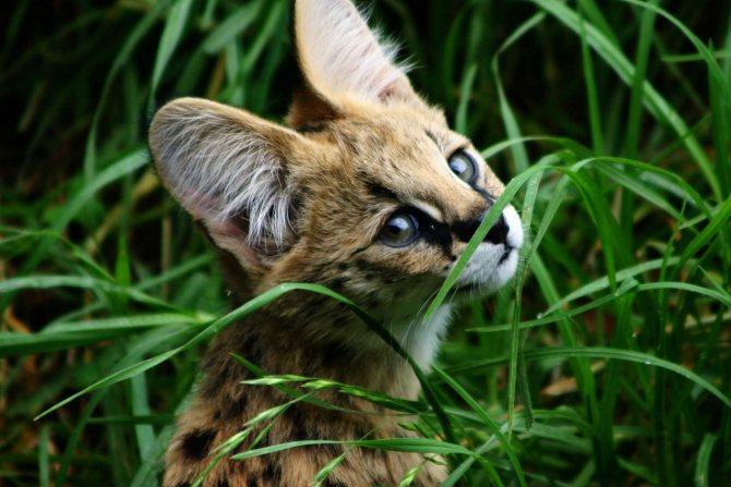 Сервал: как живет кустарниковая кошка в природе