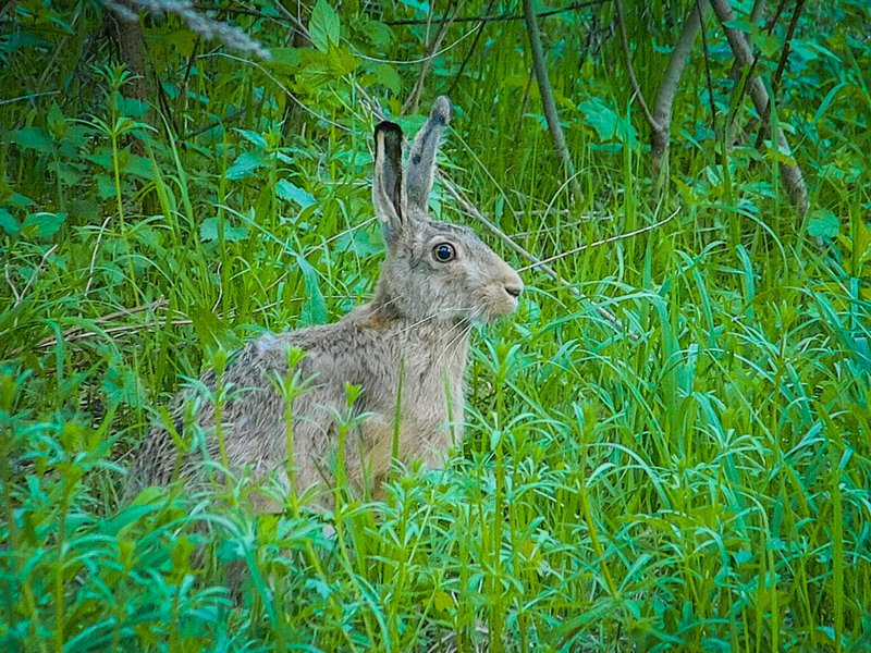 Зайцы: описание, виды, жизнь в природе