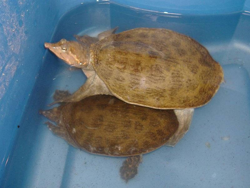 Apalone spinifera (колючий трионикс) - черепахи.ру - все о черепахах и для черепах