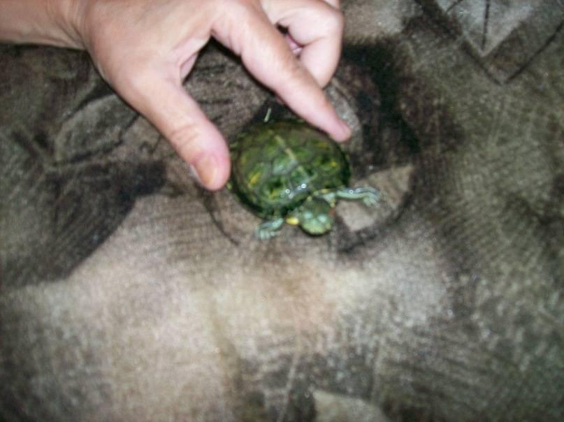 Панофтальмит.. черепахи