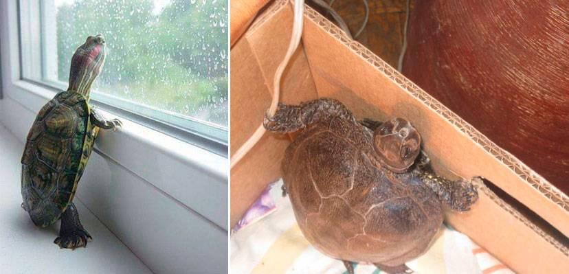 Повадки и поведение черепах