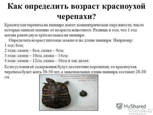 Как определять возраст черепах | мои домашние питомцы
