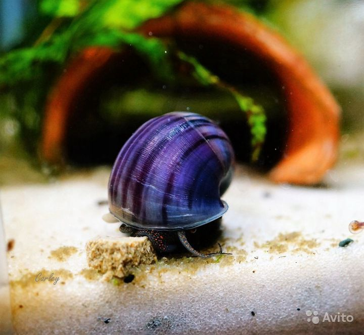 Аквариумные улитки, топ 5 самых популярных моллюсков