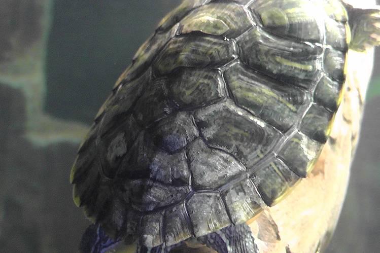 Как линяют красноухие черепахи