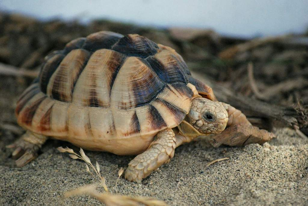 Египетская черепаха — статьи — rex24.ru: домашние животные, выбор, уход и воспитание, каталог компаний, эксперты.