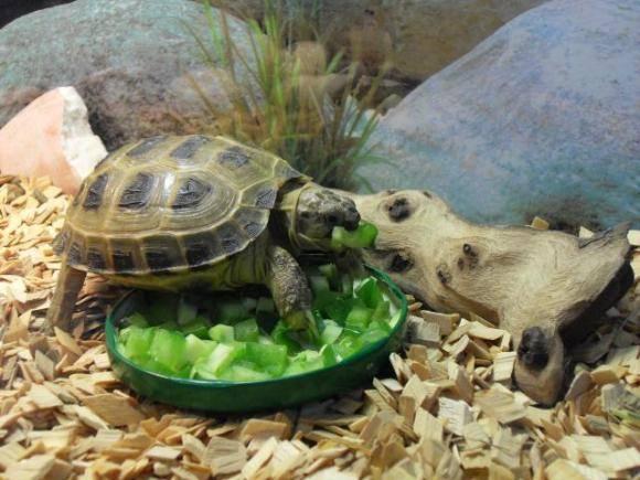 Аквариумные черепашки - содержание, уход, разведение