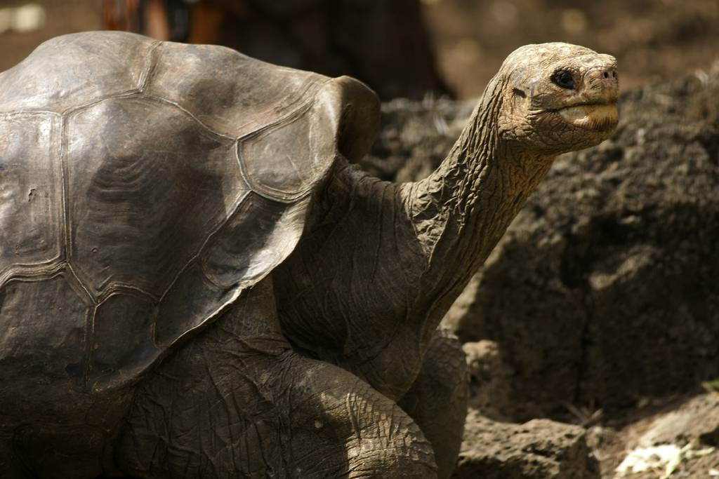 Продолжительность жизни среднеазиатских и других сухопутных черепах в домашних условиях