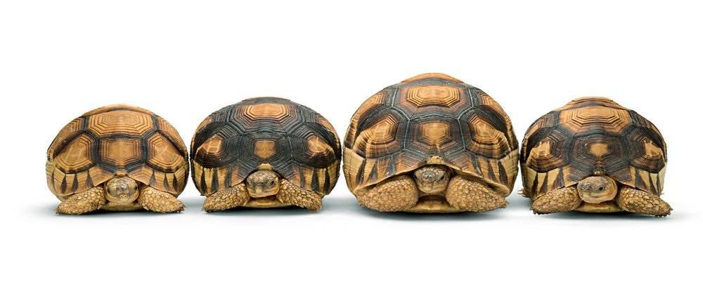 Мадагаскарская клювогрудая черепаха — википедия переиздание // wiki 2