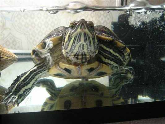 Тимпания у красноухой черепахи