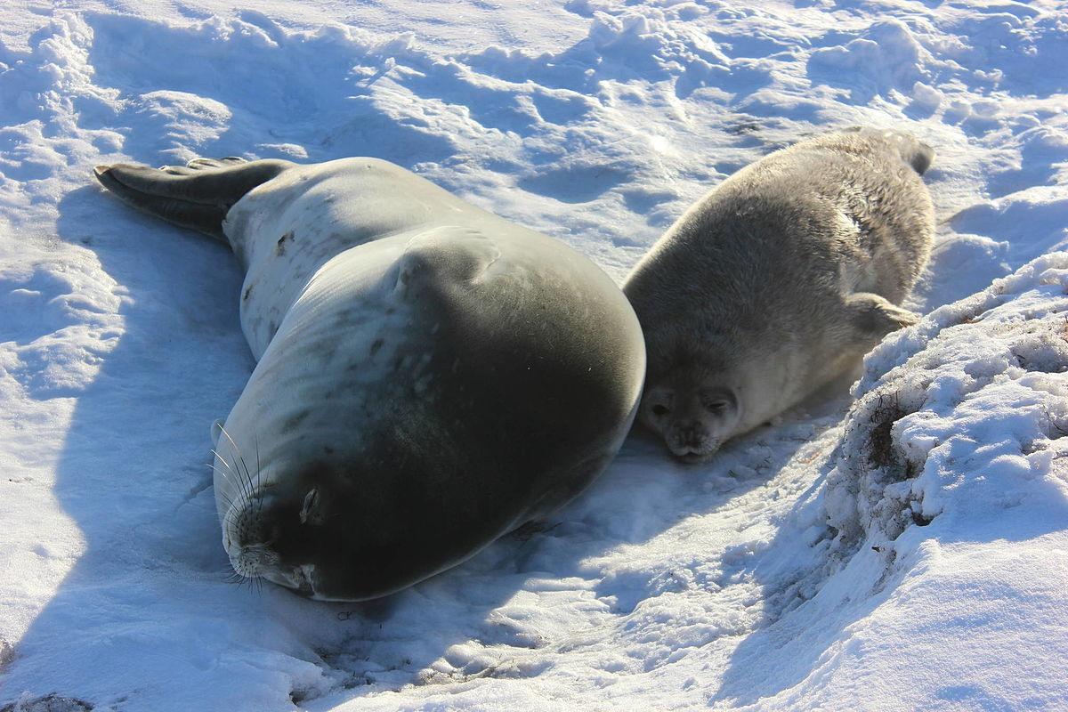 Хохлач – что это за тюлень?