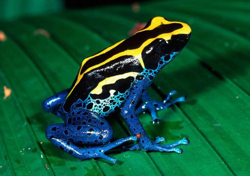 Ядовитые лягушки и жабы
