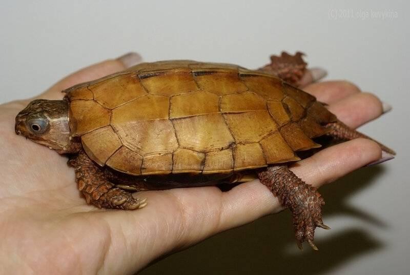Черепахи- драгоценные раритеты планеты земля - культура и искусство | проза