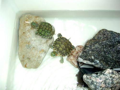 Как лечить красноухих черепах дома