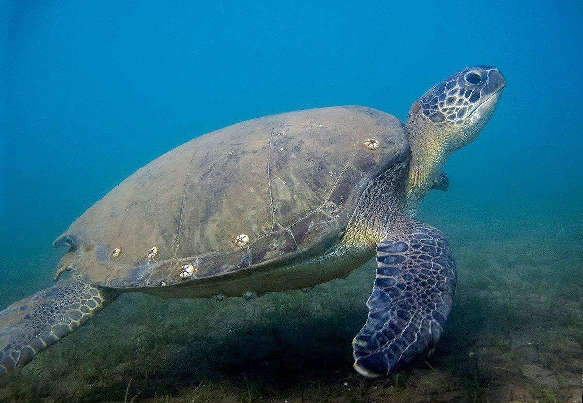 Головастая черепаха википедия
