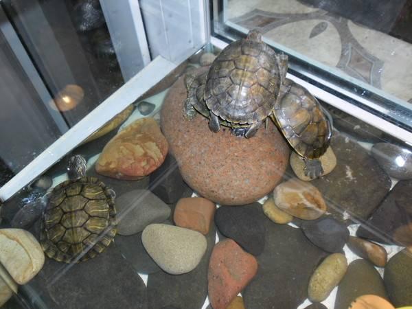 Как спят красноухие черепахи
