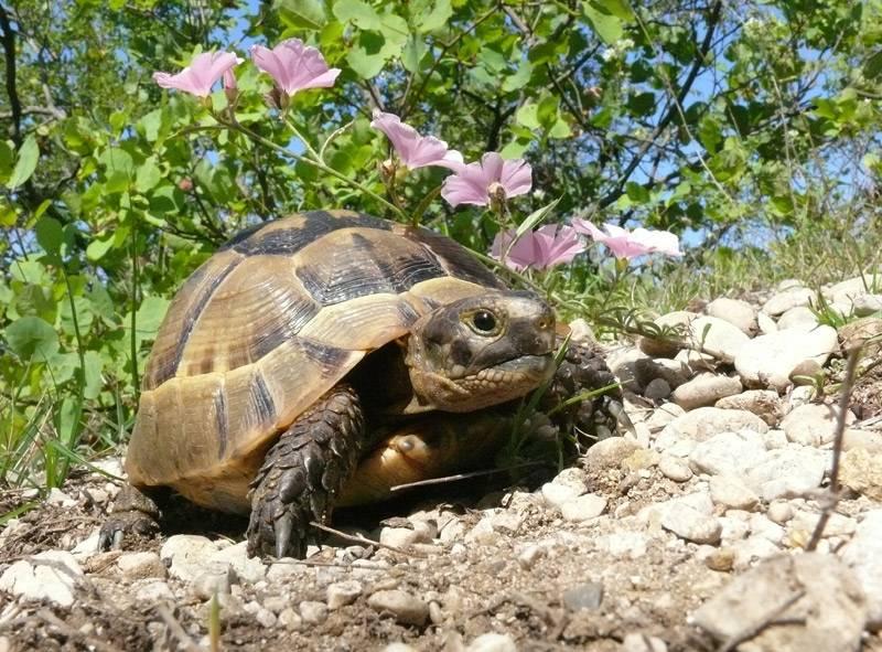 Уникальная черепаха никольского в большом утрише