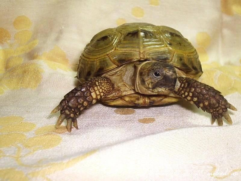 Среднеазиатская черепаха сухопутная