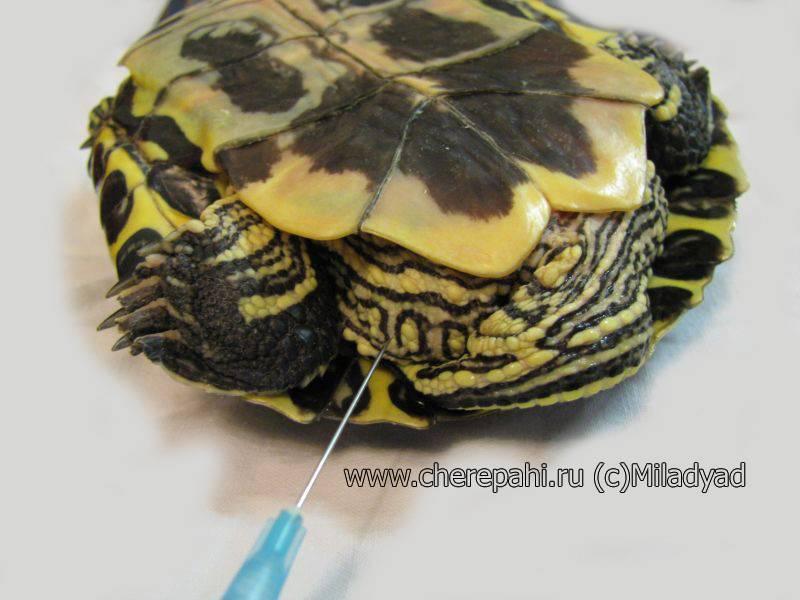 Как сделать укол черепахе видео | что говорят насекомые