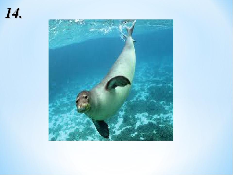 Гавайский тюлень-монах