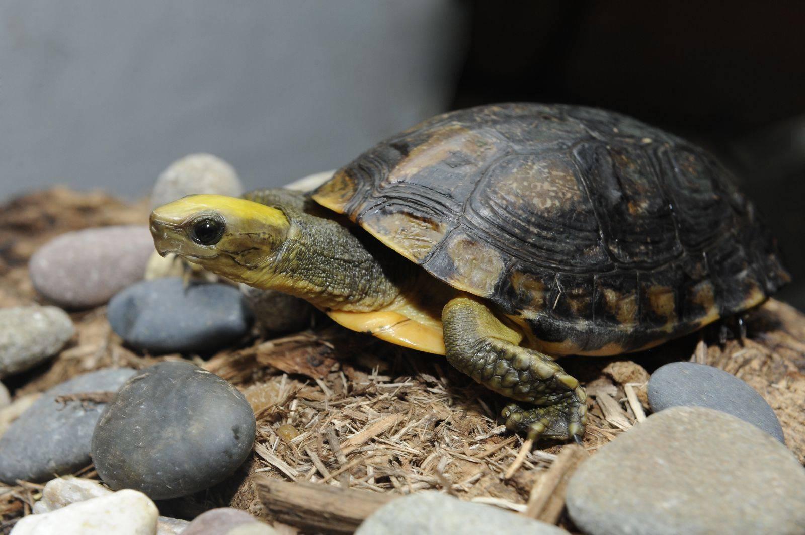 Оливковая черепаха – фото, описание, ареал, питание, размножение, враги