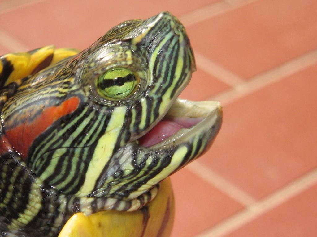 Сколько раз в день нужно кормить красноухую черепаху