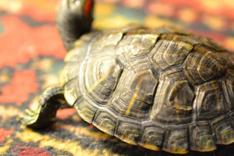 Грибок у черепах