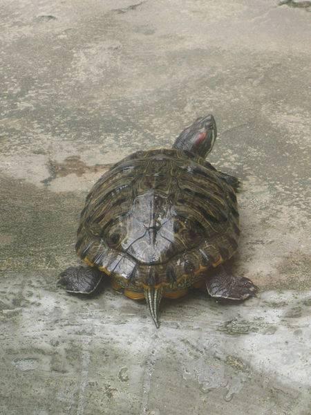 Как открыть рот черепахе? красноухая черепаха не открывает рот.