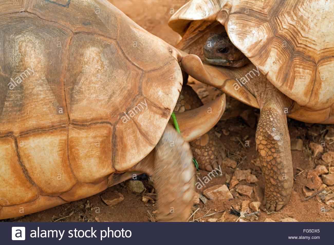 Мадагаскарская клювогрудая черепаха википедия