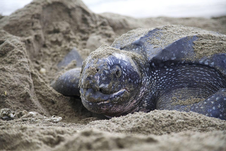 Кожистая черепаха — википедия. что такое кожистая черепаха