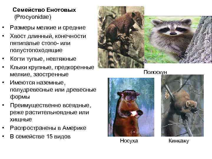 Семейство енотовых