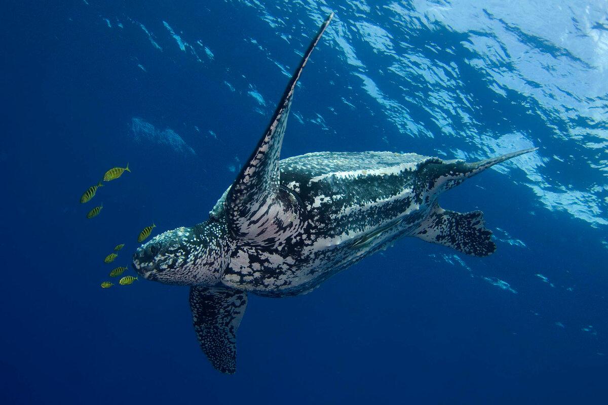 Кожистая черепаха википедия