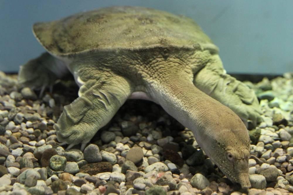 Что и как часто должны есть речные черепахи в домашних условиях