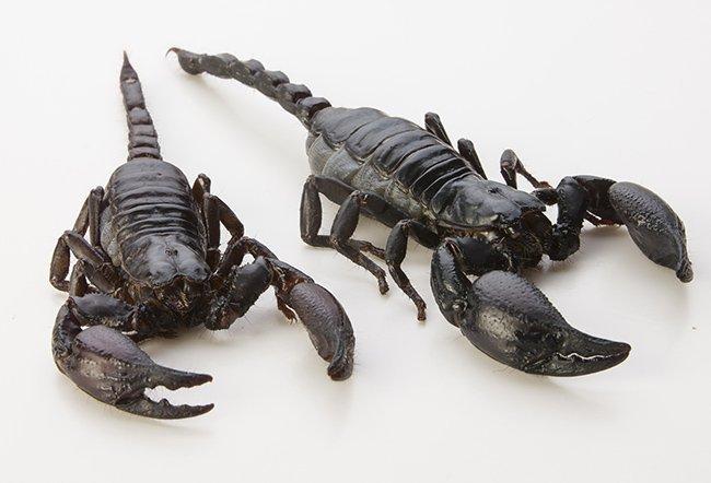 Императорский скорпион