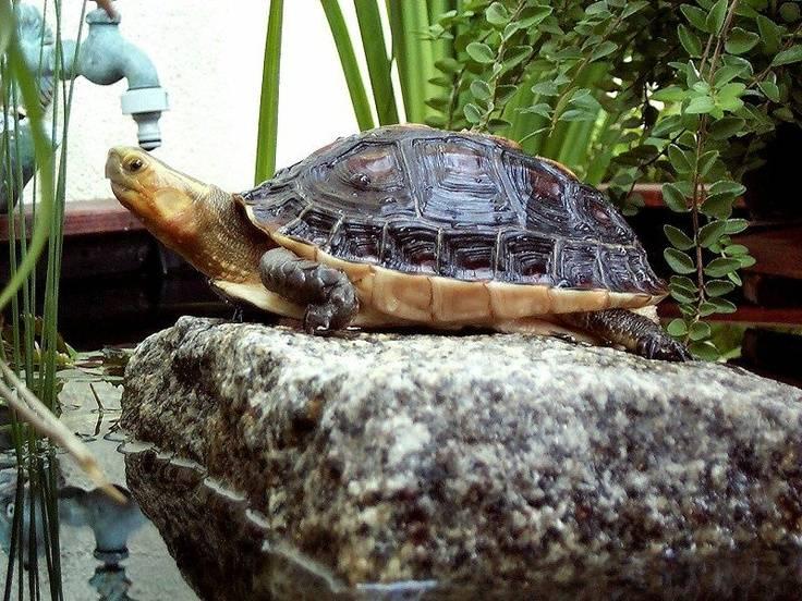 Амбоинская шарнирная (коробчатая) черепаха — статьи — rex24.ru: домашние животные, выбор, уход и воспитание, каталог компаний, эксперты.