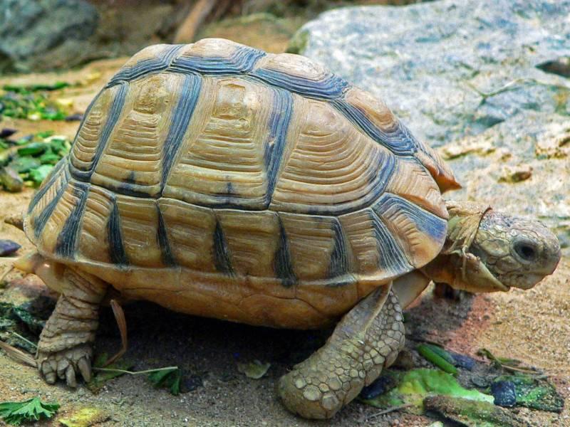 Греческая черепаха - greek tortoise - qwe.wiki