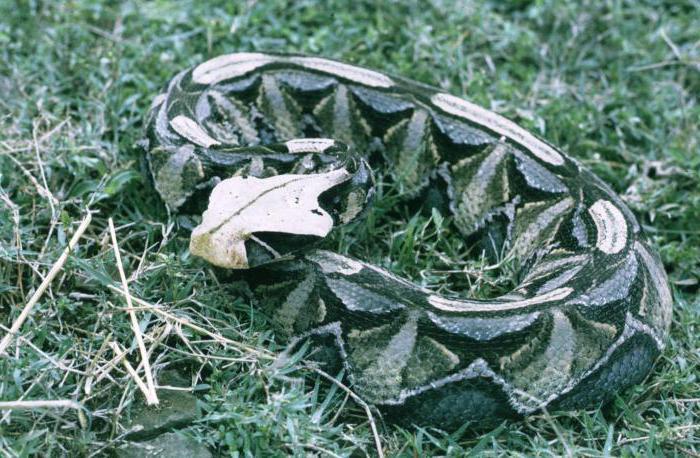 Габонская гадюка