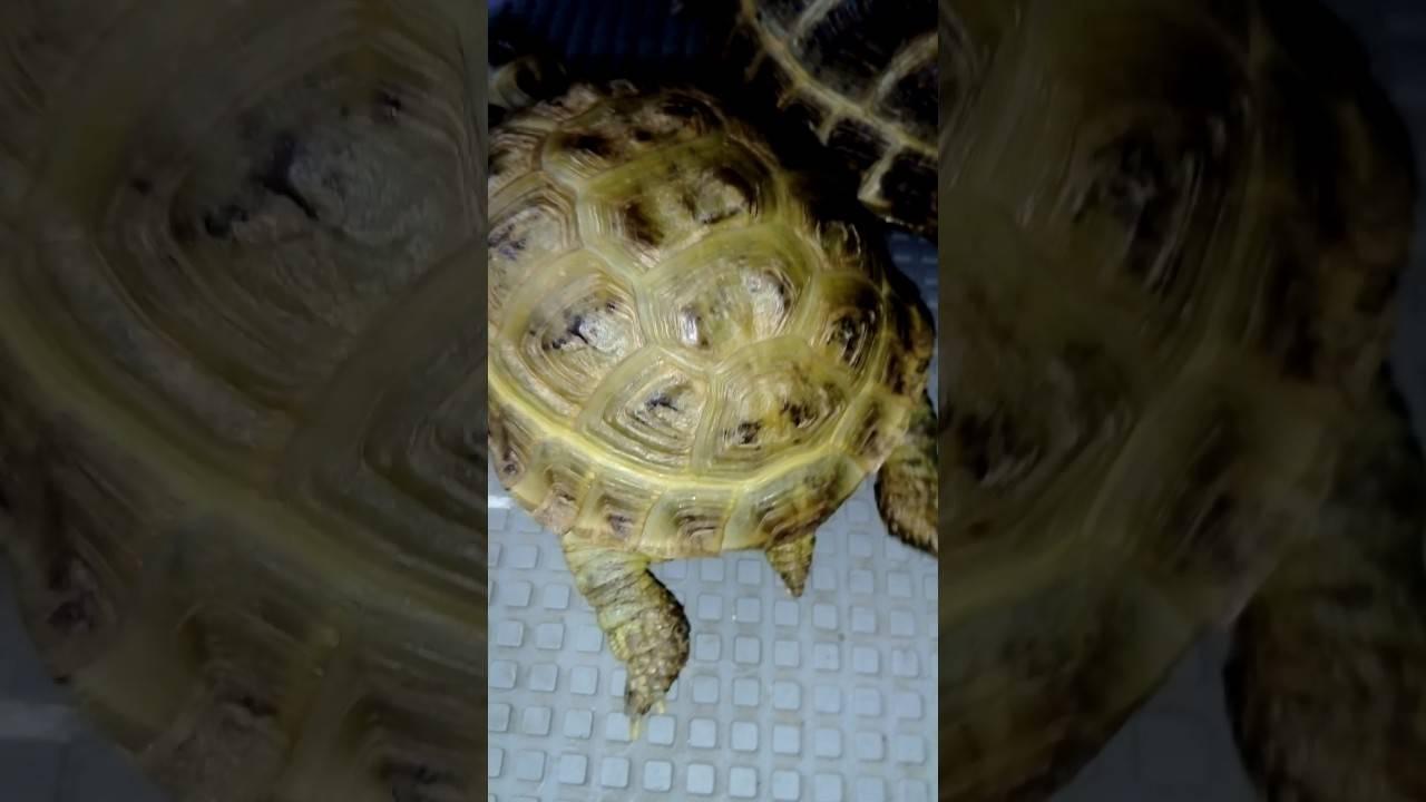 Сколько живут популярные виды черепах