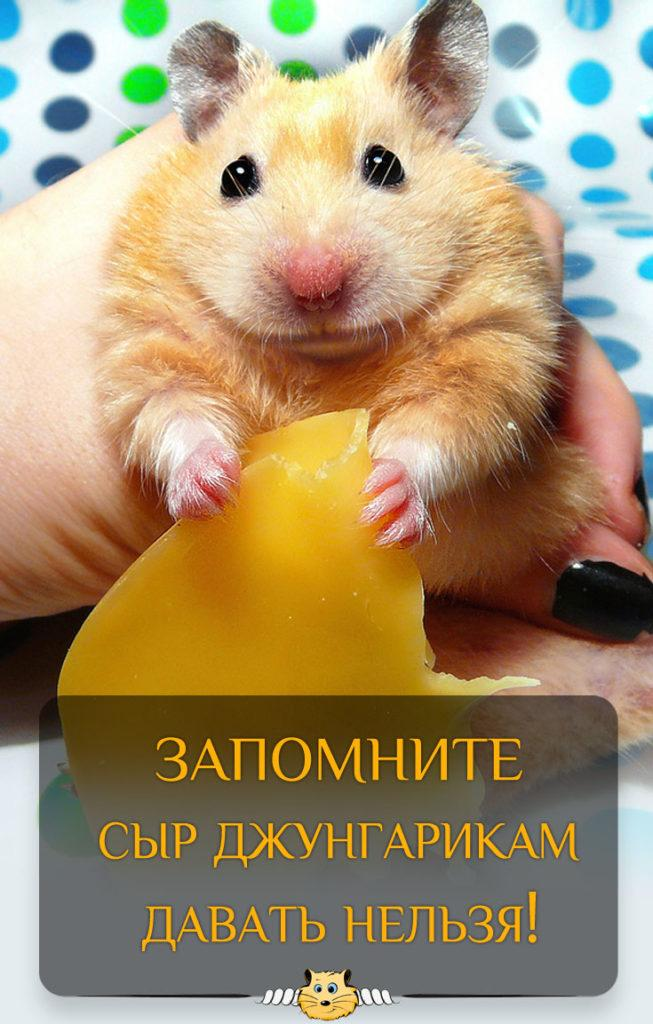 Сыр: можно ли хомякам?