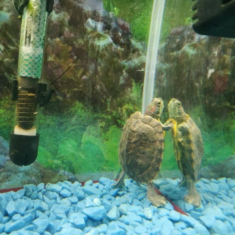 Соседи черепах по террариуму