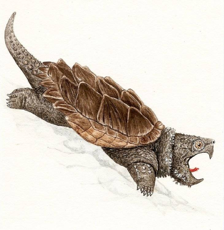 Astrochelys radiata (лучистая черепаха) - черепахи.ру - все о черепахах и для черепах
