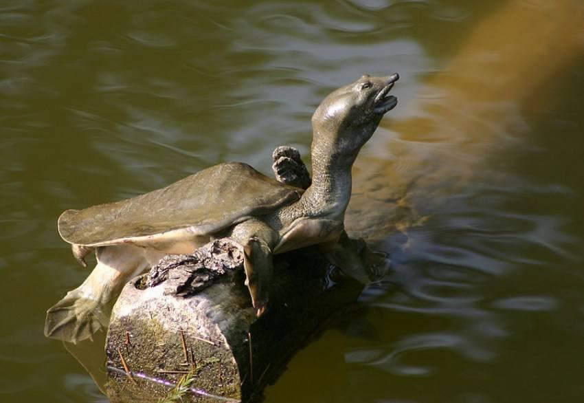 Дальневосточная черепаха или трионис