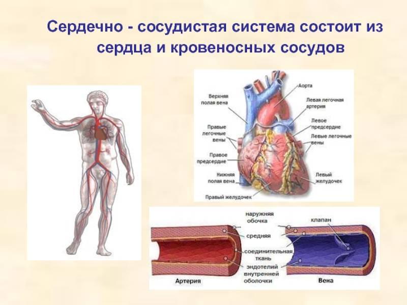 Ангиология - анатомия кровеносной системы человека. анатомия сердца и сосудов