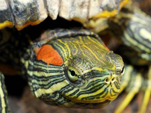 Болезни красноухих черепах и их лечение. как определить болезнь красноухой черепахи?