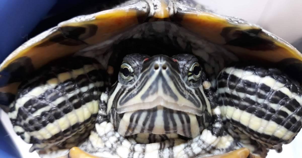 Болезни сухопутных черепах и их лечение